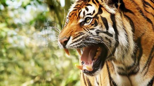 遇见野生老虎该怎么办?