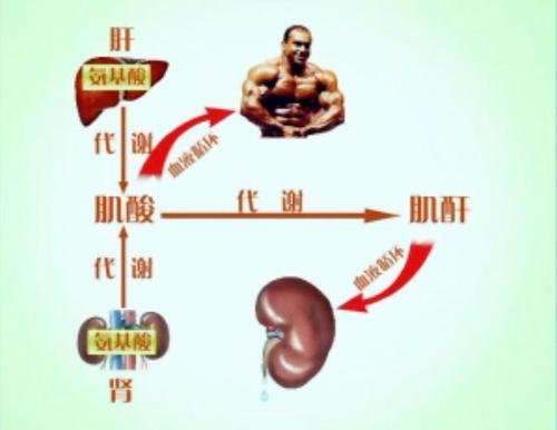 羟苯磺酸钙不能降血肌酐